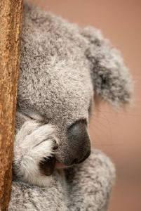 koala_YAWN